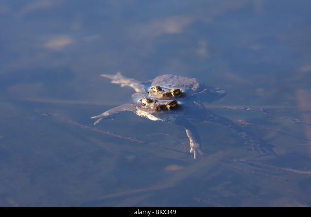 common toad ALMBKX349| 写真素材・ストックフォト・画像・イラスト素材|アマナイメージズ
