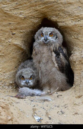 Eurasian Eagle Owls / Europaeische Uhus ( Bubo bubo ), young chicks at nesting site, feeding on prey ( nutria ), wildlife, Europe. ALMW9TGC5| 写真素材・ストックフォト・画像・イラスト素材|アマナイメージズ