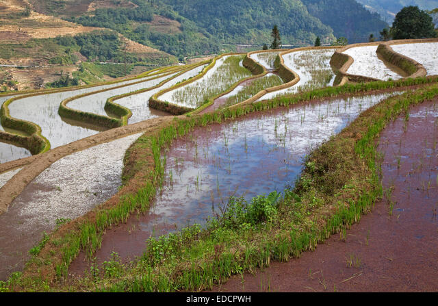 Terraced rice paddies covered in red duckweed on hillside near Xinjie in the Yuangyang district, Yunnan province, China ALMEDCPWH| 写真素材・ストックフォト・画像・イラスト素材|アマナイメージズ