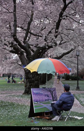 Artist Creates Spring Scenic Under Canopy Of Blossoming Cherry Trees On University Of Washington Campus Seattle Washington ALMAK6D9B| 写真素材・ストックフォト・画像・イラスト素材|アマナイメージズ