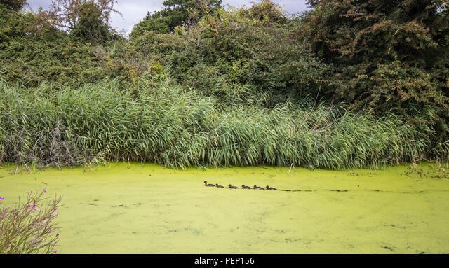 Mallard ducks and chicks on Chichester Canal, Chichester, West Sussex, UK ALMPEP156| 写真素材・ストックフォト・画像・イラスト素材|アマナイメージズ