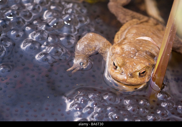 Toad on top of frog spawn in a pond in spring ALMBA6T30| 写真素材・ストックフォト・画像・イラスト素材|アマナイメージズ