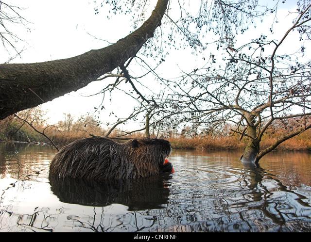 coypu, nutria (Myocastor coypus), in natural habitat, Germany, North Rhine-Westphalia ALMCNRFNF| 写真素材・ストックフォト・画像・イラスト素材|アマナイメージズ