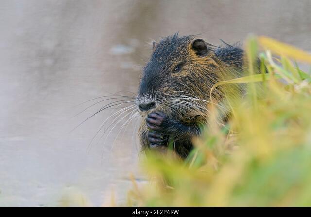 Nutria on the bank of a pond, January, Hesse, Germany ALM2F2P4RW| 写真素材・ストックフォト・画像・イラスト素材|アマナイメージズ