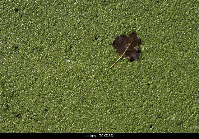 Common duckweed Lemna minor Somerset Levels Somerset England ALMT0KD8D| 写真素材・ストックフォト・画像・イラスト素材|アマナイメージズ