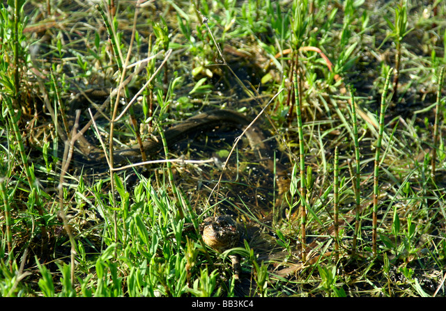 Grass snake eating toad in Topilo lake Bialowieza National Park Poland ALMBB3KC4| 写真素材・ストックフォト・画像・イラスト素材|アマナイメージズ