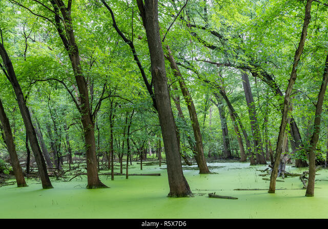 Mississippi River over its banks, flooding plain, Silver Maple trees (Acer saccharinum). Fort Snelling SP, late summer, MN, USA, by Dominique Braud/De ALMR5X7D6| 写真素材・ストックフォト・画像・イラスト素材|アマナイメージズ