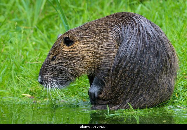 Nutria on the bank of a pond, May, Hesse, Germany ALM2F2P4KT| 写真素材・ストックフォト・画像・イラスト素材|アマナイメージズ