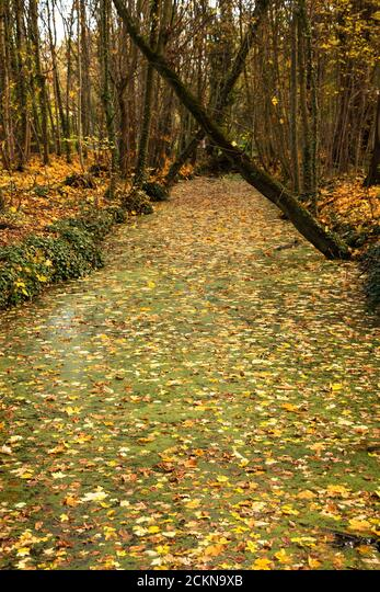 Autumn forest along calm stream water covered with duckweed and floated fallen golden leaves. Vincennes forest of Paris, France. ALM2CKN9XB| 写真素材・ストックフォト・画像・イラスト素材|アマナイメージズ