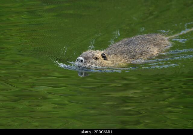 Coypu / River Rat / Nutria ( Myocastor coypus ) swims in a hurry through nice green coloured water, invasive species, wildlife, Europe ALM2BBG6MH| 写真素材・ストックフォト・画像・イラスト素材|アマナイメージズ