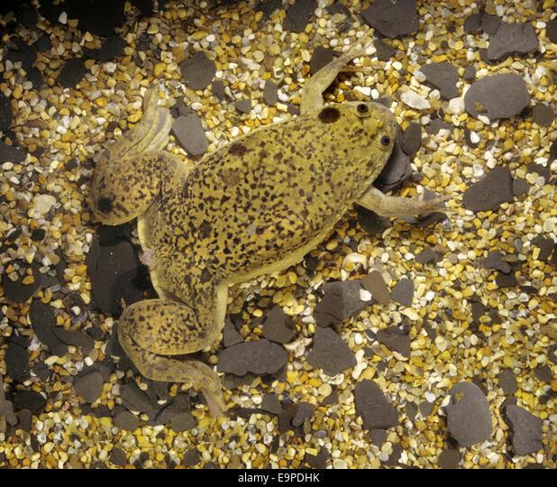 African Clawed Toad - Xenopus laevis ALME9PDHK| 写真素材・ストックフォト・画像・イラスト素材|アマナイメージズ