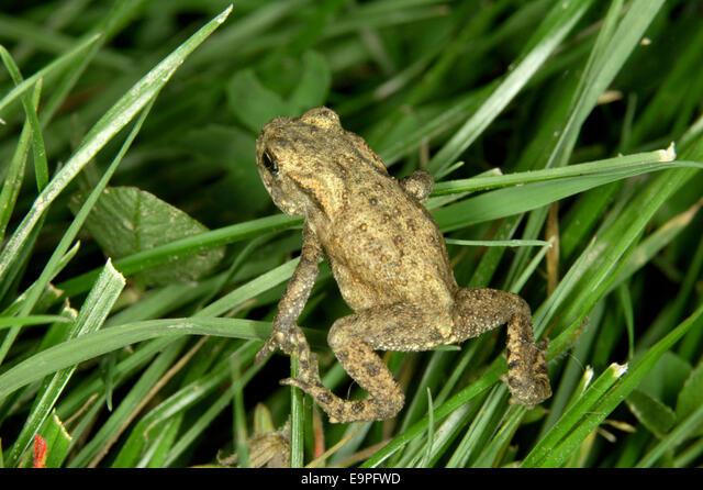 Common Toad - Bufo bufo ALME9PFWD| 写真素材・ストックフォト・画像・イラスト素材|アマナイメージズ