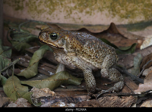 Cane Toad (Bufo marinus) adult foraging in garden, introduced species in Jamaica  Linstead, Jamaica           April 2012 ALMPE2NXA| 写真素材・ストックフォト・画像・イラスト素材|アマナイメージズ