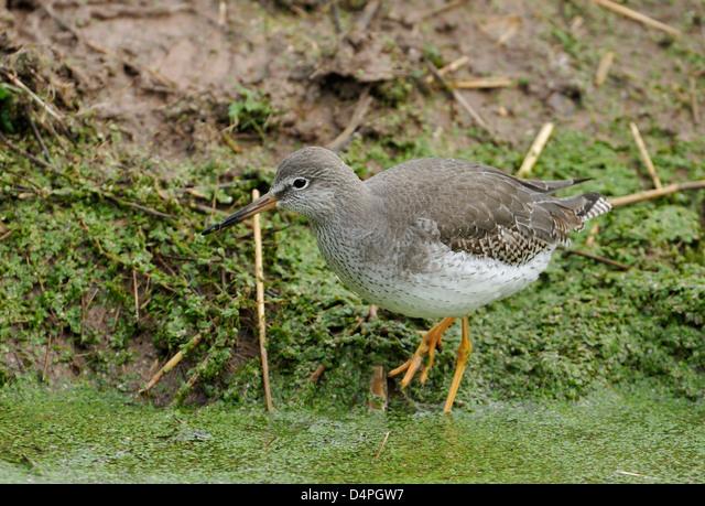 Redshank - Tringa totanus Wader bird in Duckweed ALMD4PGW7| 写真素材・ストックフォト・画像・イラスト素材|アマナイメージズ