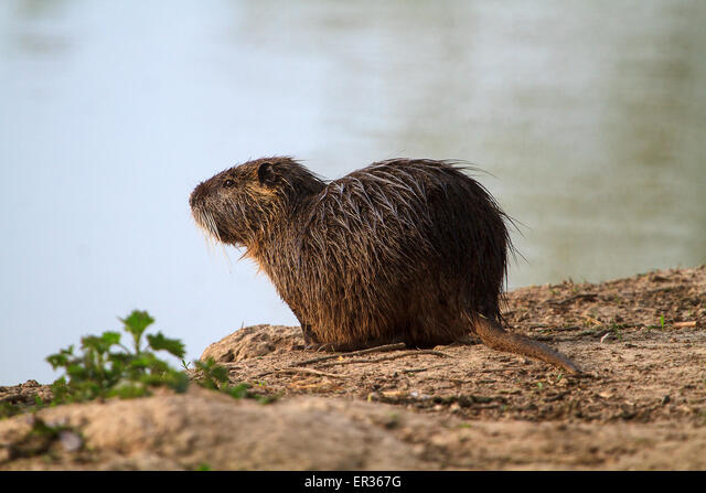 France, Brittany  Coypu Myocastor coypu - species of rodent common along the waterways, good swimmer, digs burrows along the banks, thereby weakening and increasing the risk of their breaking during floods. ALMER367G| 写真素材・ストックフォト・画像・イラスト素材|アマナイメージズ