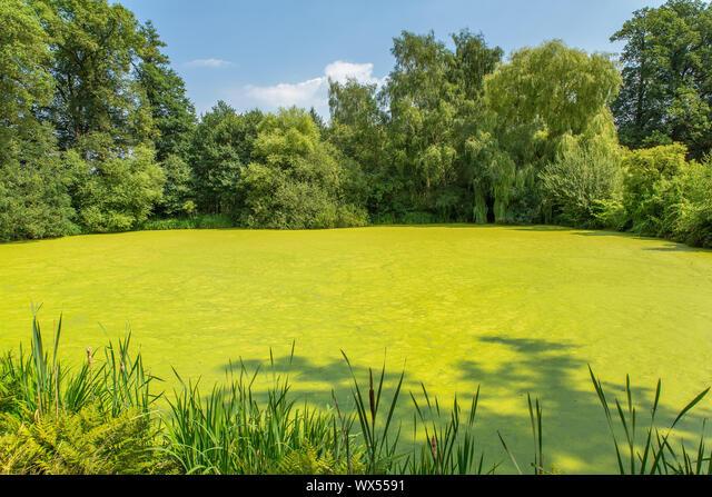 Dutch forest pond covered with green duckweed ALMWX5591| 写真素材・ストックフォト・画像・イラスト素材|アマナイメージズ