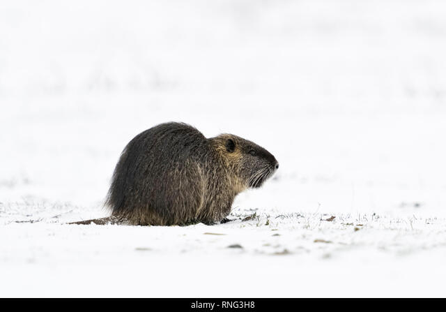 Coypu / River rat / Nutria ( Myocastor coypus ) in winter, feeding on snow covered farmland, wildlife, Europe. ALMRNG3H8| 写真素材・ストックフォト・画像・イラスト素材|アマナイメージズ