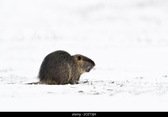Coypu / River rat / Nutria ( Myocastor coypus ) in winter, feeding on snow covered farmland, wildlife, Europe. ALM2CET3JH| 写真素材・ストックフォト・画像・イラスト素材|アマナイメージズ