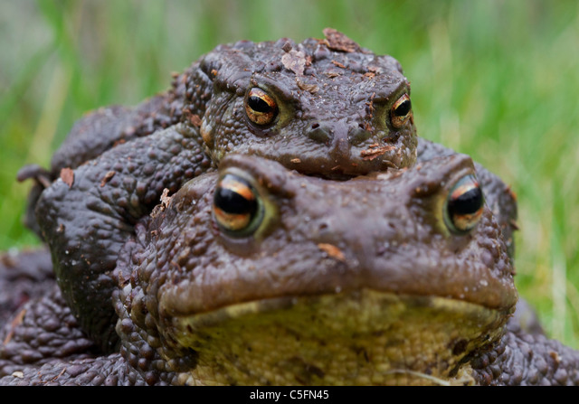 Common Toad / European Toad (Bufo bufo) pair migrating in amplexus to breeding pond in spring, Germany ALMC5FN45| 写真素材・ストックフォト・画像・イラスト素材|アマナイメージズ