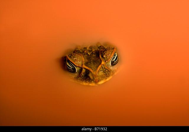 Suriname, Brownsweg, Brownsberg National Park. Cane Toad (Bufo Marinus). In laterite pool. ALMB71932| 写真素材・ストックフォト・画像・イラスト素材|アマナイメージズ