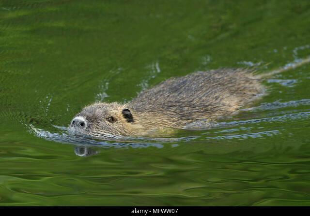 Coypu / River Rat / Nutria ( Myocastor coypus ) swims in a hurry through nice green coloured water, invasive species, wildlife, Europe. ALMMFWW07| 写真素材・ストックフォト・画像・イラスト素材|アマナイメージズ