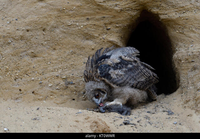 Eurasian Eagle Owl / Europaeischer Uhu ( Bubo bubo ), young chick at nesting site, feeding on prey ( nutria ), wildlife, Europe. ALMKT0WWR| 写真素材・ストックフォト・画像・イラスト素材|アマナイメージズ