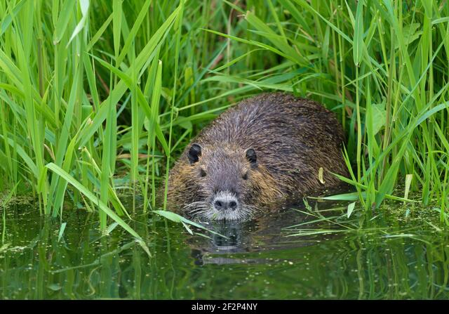 Nutria on the bank of a pond, May, Hesse, Germany ALM2F2P4NY| 写真素材・ストックフォト・画像・イラスト素材|アマナイメージズ