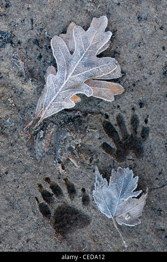 Raccoon Procyon lotor tracks frozen in mud, and frost covered leaves Eastern North America ALMCEDA12| 写真素材・ストックフォト・画像・イラスト素材|アマナイメージズ