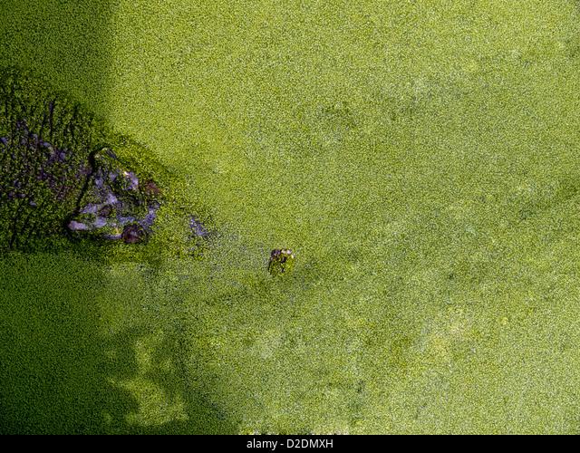 Malaysia, Borneo, Sandakan, crocodile hidden in a pond with duckweed, view from above ALMD2DMXH| 写真素材・ストックフォト・画像・イラスト素材|アマナイメージズ