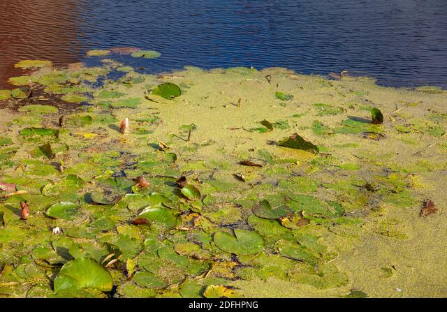 water lilies out of Muiden castle, Netherlands ALM2DFHPNG| 写真素材・ストックフォト・画像・イラスト素材|アマナイメージズ