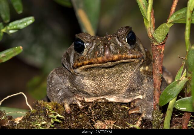 Cane Toad (Rhinella marina) on tropical rainforest floor, Alajuela, Costa Rica ALM2ATTRXM| 写真素材・ストックフォト・画像・イラスト素材|アマナイメージズ
