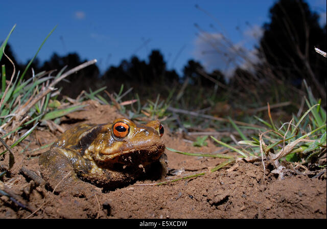 Common toad (Bufo spinosus) in Mariola mountains, between Alicante and Valencia province, Spain ALME5XCDW| 写真素材・ストックフォト・画像・イラスト素材|アマナイメージズ