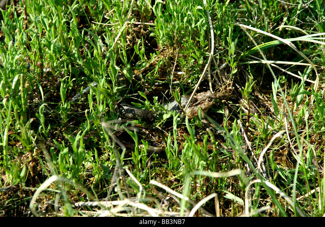 Grass snake eating toad in Topilo lake Bialowieza National Park Poland ALMBB3NB7| 写真素材・ストックフォト・画像・イラスト素材|アマナイメージズ