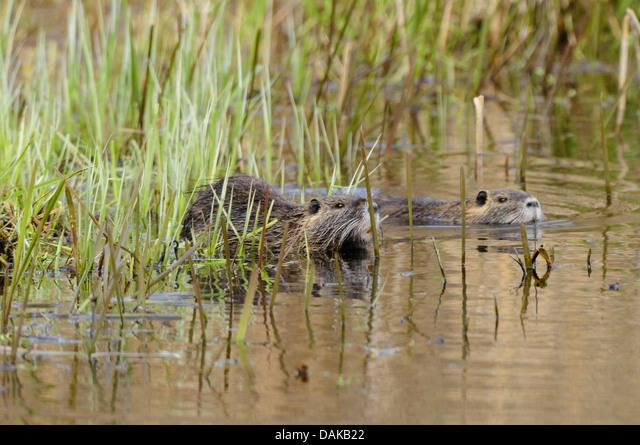 coypu, nutria (Myocastor coypus), two nutrias swimming through the reed, Germany, North Rhine-Westphalia ALMDAKB22| 写真素材・ストックフォト・画像・イラスト素材|アマナイメージズ