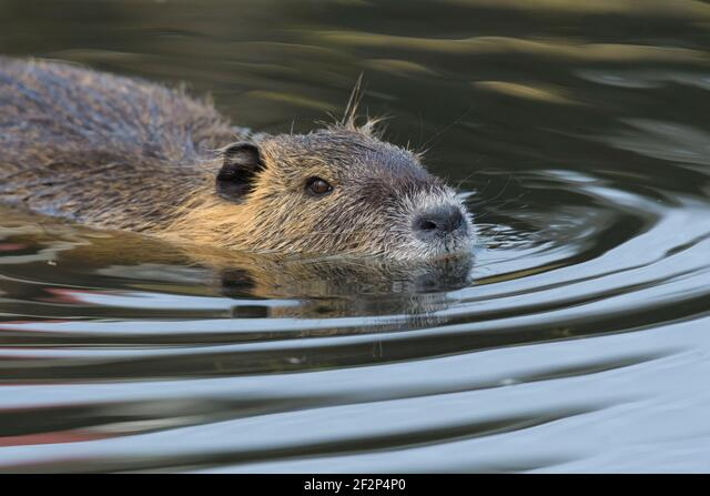 Nutria in a pond, March, Hesse, Germany ALM2F2P4P0| 写真素材・ストックフォト・画像・イラスト素材|アマナイメージズ