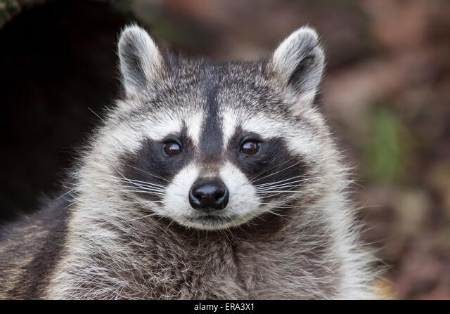 northern raccoon ALMERA3X1| 写真素材・ストックフォト・画像・イラスト素材|アマナイメージズ