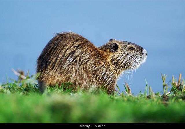 A Nutria walks on the green grass after swimming in the swamps of Hula Valley and Hula Nature Reserve in north Israel. ALMC53A22| 写真素材・ストックフォト・画像・イラスト素材|アマナイメージズ