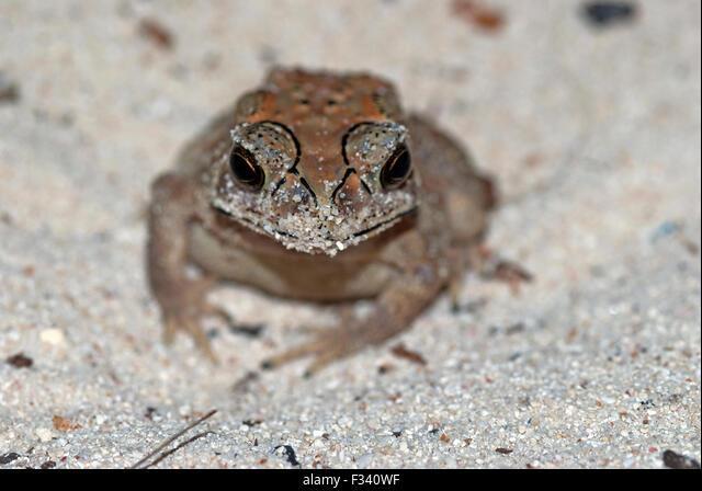 The image of common toad ( Bufo Bufo ) in Karavatti island, Lakshadweep, India ALMF340WF| 写真素材・ストックフォト・画像・イラスト素材|アマナイメージズ