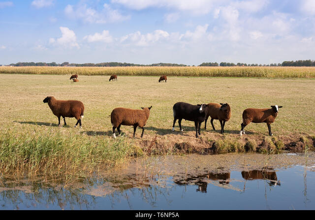 Brown sheep in the wide dutch meadow ALMT6NP5A| 写真素材・ストックフォト・画像・イラスト素材|アマナイメージズ