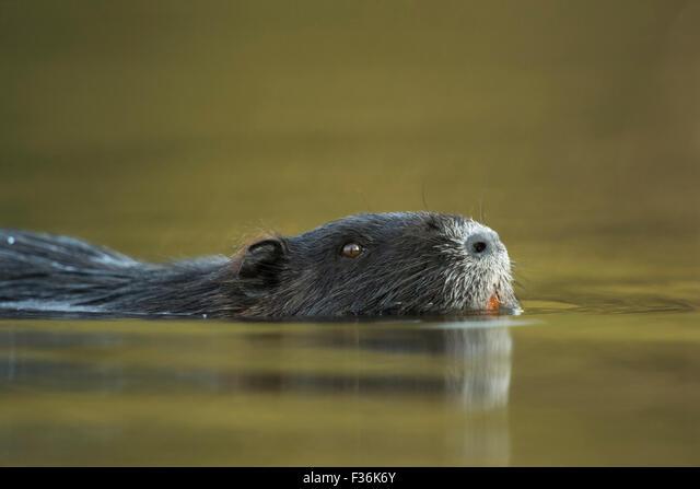 Head portrait of a Coypu / River rat / Nutria ( Myocastor coypus ) that swims close by through nice colored water. ALMF36K6Y| 写真素材・ストックフォト・画像・イラスト素材|アマナイメージズ