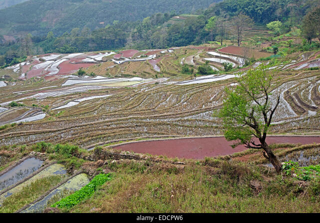 Terraced rice paddies on hillside near Xinjie in the Yuangyang district, Yunnan province, China ALMEDCPW6| 写真素材・ストックフォト・画像・イラスト素材|アマナイメージズ