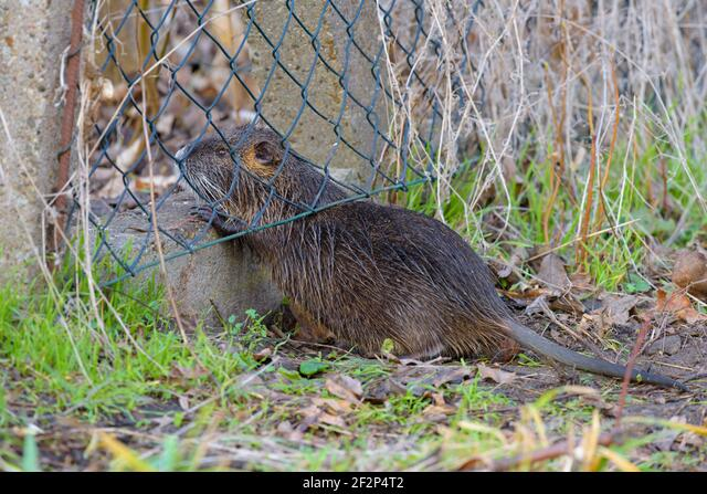 Nutria crawls under the fence of an allotment garden, January, Hesse, Germany ALM2F2P4T2| 写真素材・ストックフォト・画像・イラスト素材|アマナイメージズ