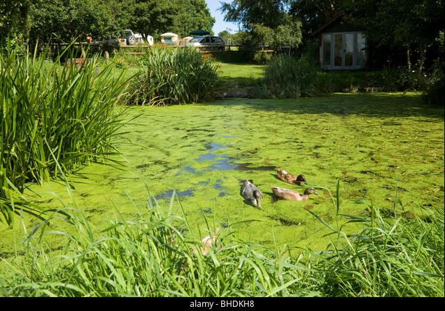 Ducks Swim on Pond Covered with Common Duckweed Lemna Minor on Treforgan Farm Campsite, nr Cardigan, Wales ALMBHDKH8| 写真素材・ストックフォト・画像・イラスト素材|アマナイメージズ