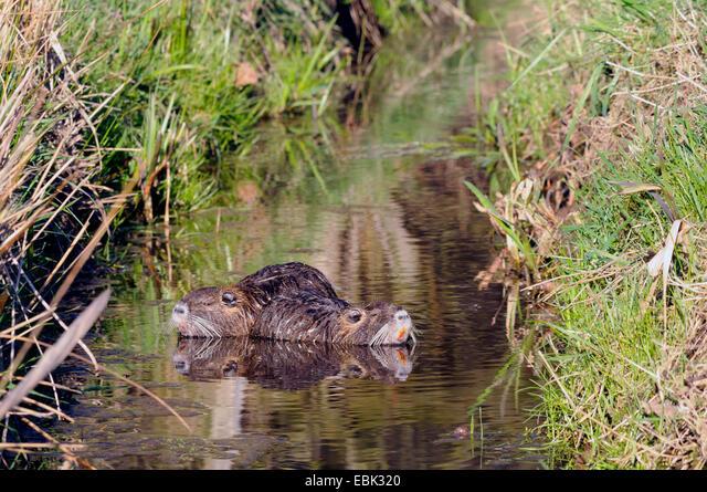 coypu, nutria (Myocastor coypus), in a creek, Germany, Lippe ALMEBK320| 写真素材・ストックフォト・画像・イラスト素材|アマナイメージズ