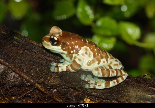 Toad foliage frog, ALMH473XE| 写真素材・ストックフォト・画像・イラスト素材|アマナイメージズ