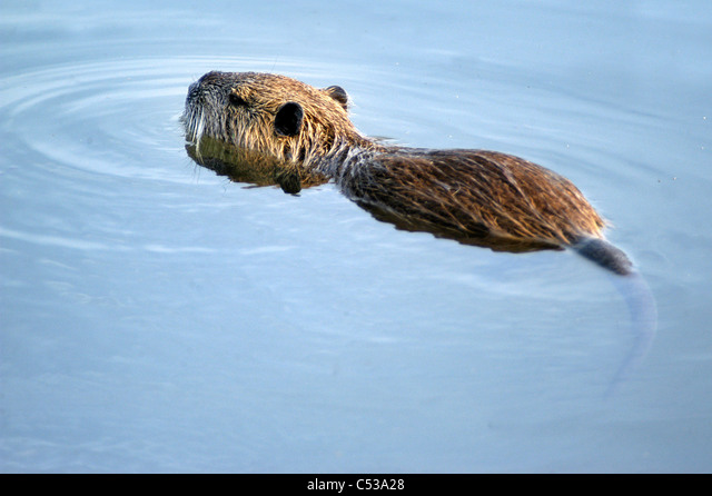 A Nutria swims in the swamps of Hula Valley and Hula Nature Reserve in north Israel. ALMC53A28| 写真素材・ストックフォト・画像・イラスト素材|アマナイメージズ