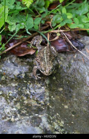 Natterjack Toad; Epidalea calamita Single Walking UK ALMH6XD3N| 写真素材・ストックフォト・画像・イラスト素材|アマナイメージズ
