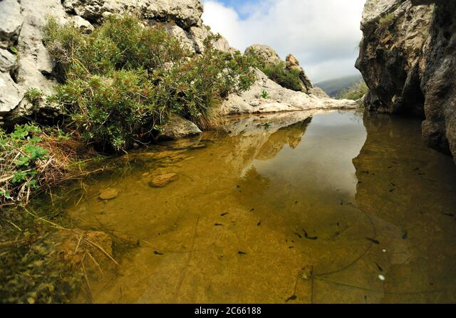 This pond is the habitat for the Majorcan midwife toad (Alytes muletensis) Torrent de s'Esmorcador, Majorca, Spain. The Majorcan midwife toad (Alytes muletensis) is endemic to the rocky sandstone terrain of the Serra de Tramuntana in the northwest of Majorca. ALM2C66188| 写真素材・ストックフォト・画像・イラスト素材|アマナイメージズ