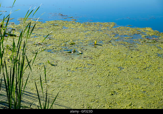 Duckweed, algae and lily pads floating on the backwaters of a fresh water lake in Michigan. ALMGF323D| 写真素材・ストックフォト・画像・イラスト素材|アマナイメージズ