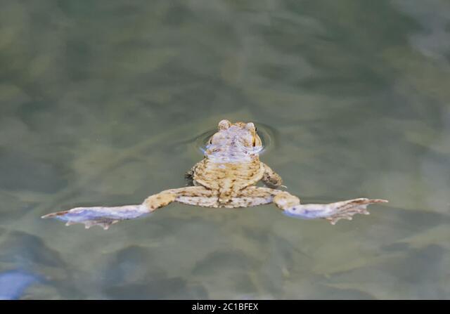 Common toad (Bufo bufo) swin in a pond level ALM2C1BFEX| 写真素材・ストックフォト・画像・イラスト素材|アマナイメージズ